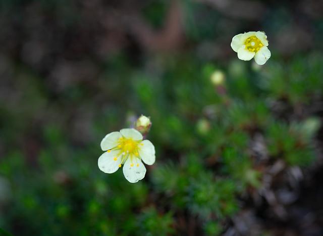 366-67 Spring Alpines
