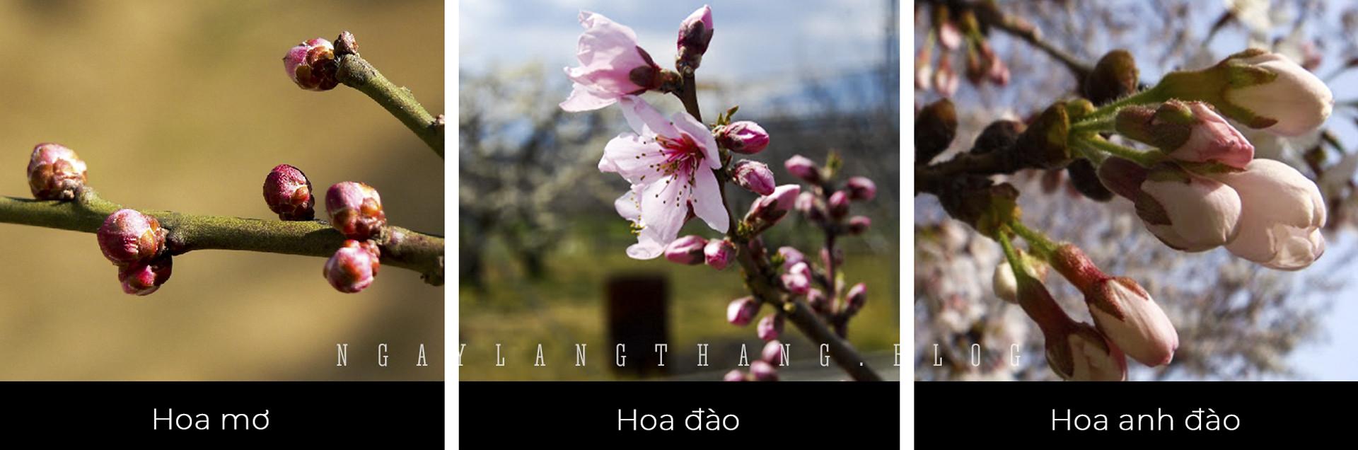 hoa mơ, hoa đào, hoa anh đào-nụ