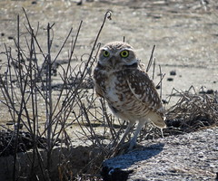 Burrowing Owl/ Guthrie KY./ 3-7-2020
