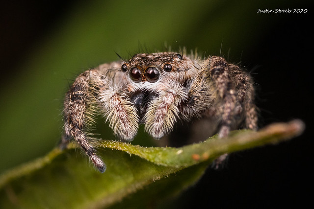 Small Tan Jumping Spider
