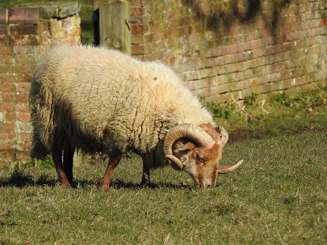 Portland sheep DSCN5961