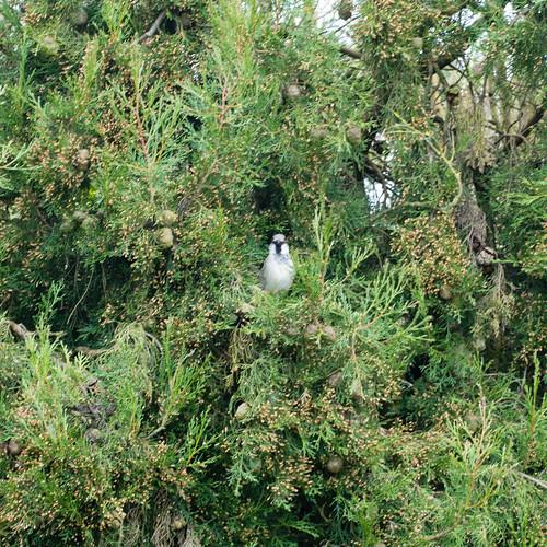 Watchful sparrow, Penkridge