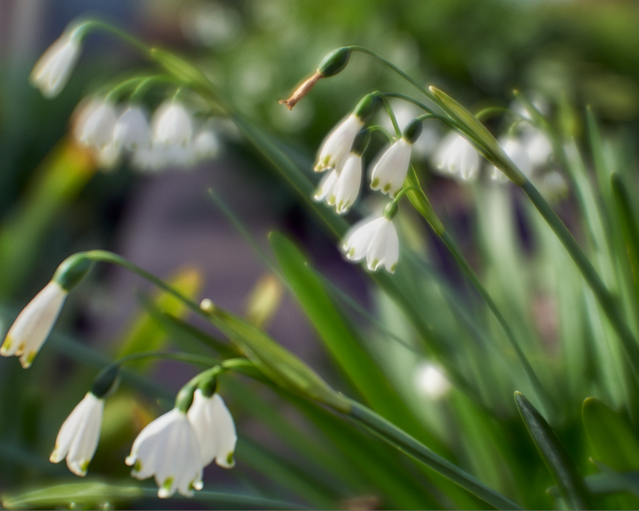 monocle flower