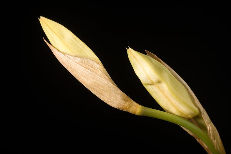 [Eastern Himalaya] Coelogyne cristata fma. hololeuca 'Pure White' SM&CHM/JOGA Lindl., Coll. Bot.: t. 33 (1824)