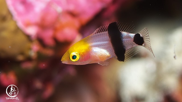 キツネベラ幼魚