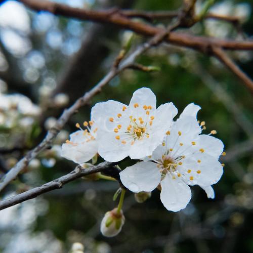 Cherry, flowers opening, Perton