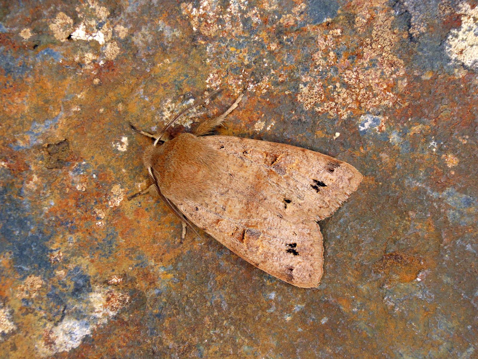 73.250 Twin-spotted Quaker - Anorthoa munda