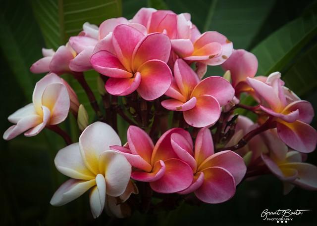 Fragipani Bouquet L4 A19