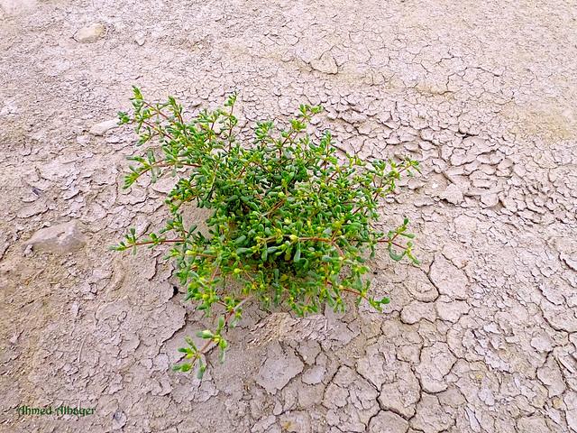 Desert plants ... نبـــات البـــــر
