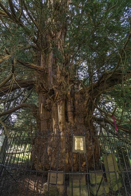 Darley Yew Tree