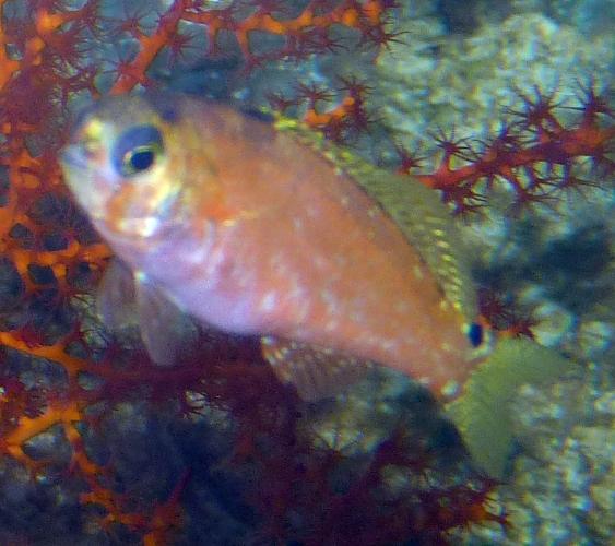 Bullisichthys caribbaeus 49634373377_1dc09ef9d3_o