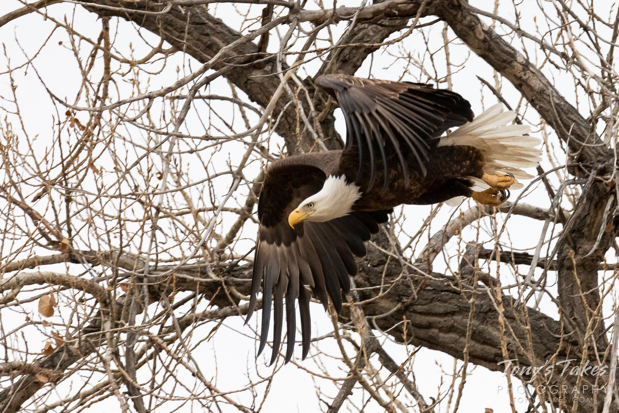 Female bald eagle takes to the skies for Freedom Friday