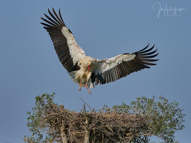 Aproximación al nido.