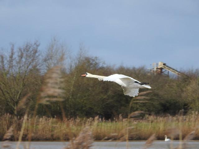Swan DSCN6145