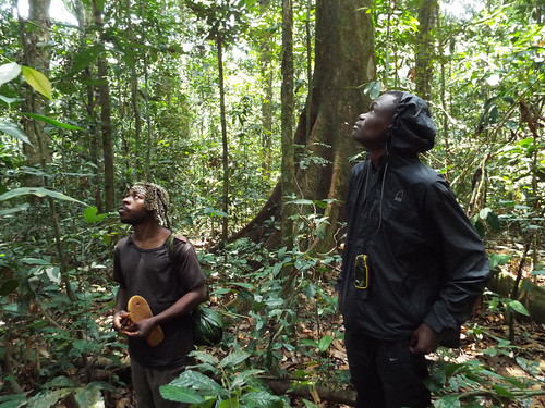 Kaisala and guide watch red colobus in forest