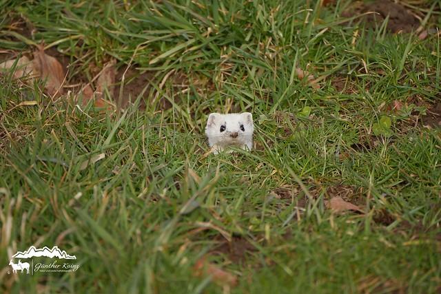Mauswiesel (Mustela nivalis) Ohne Schnee keine Tarnung :)
