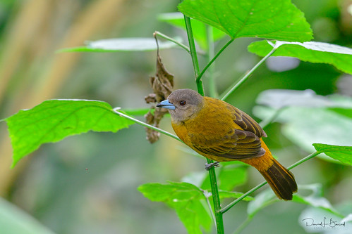 Scarlet-rumped Tanager (female)