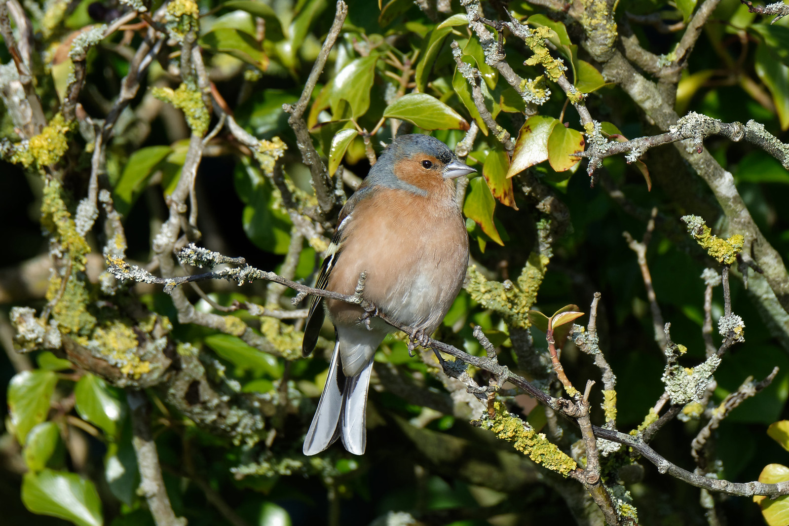 Chaffinch Shore rd