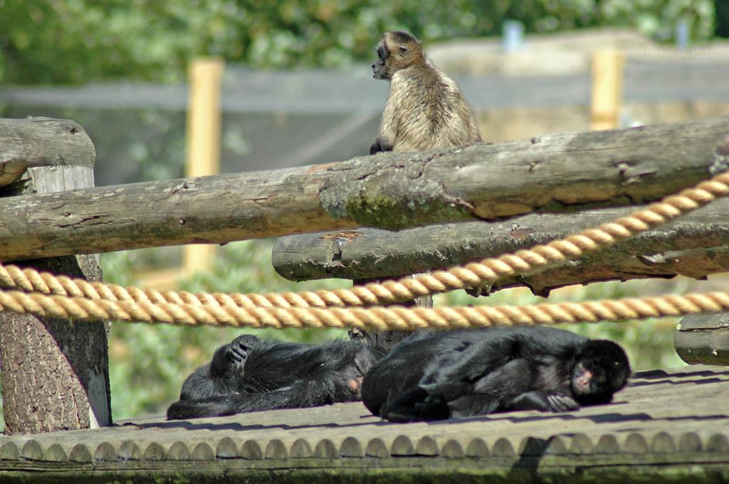 Geoffroy-Klammeraffe und Schwarzgesichtklammeraffen im Dublin Zoo