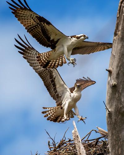 outdoor dennis adair sky water nature wildlife 7dm2 7d ii ef100400mm ocean canon florida bird bif flight raptor prey
