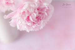Sarah Bernhardt Peony frills