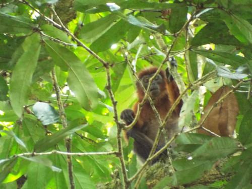 P. langi lookng through branches