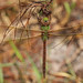 Flickr photo 'Common Green Darner (Anax junius)' by: Mary Keim.