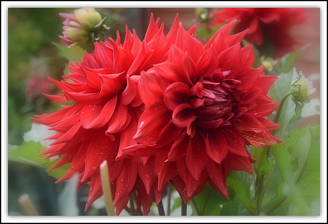 Flower Of The day - Red Dahlia