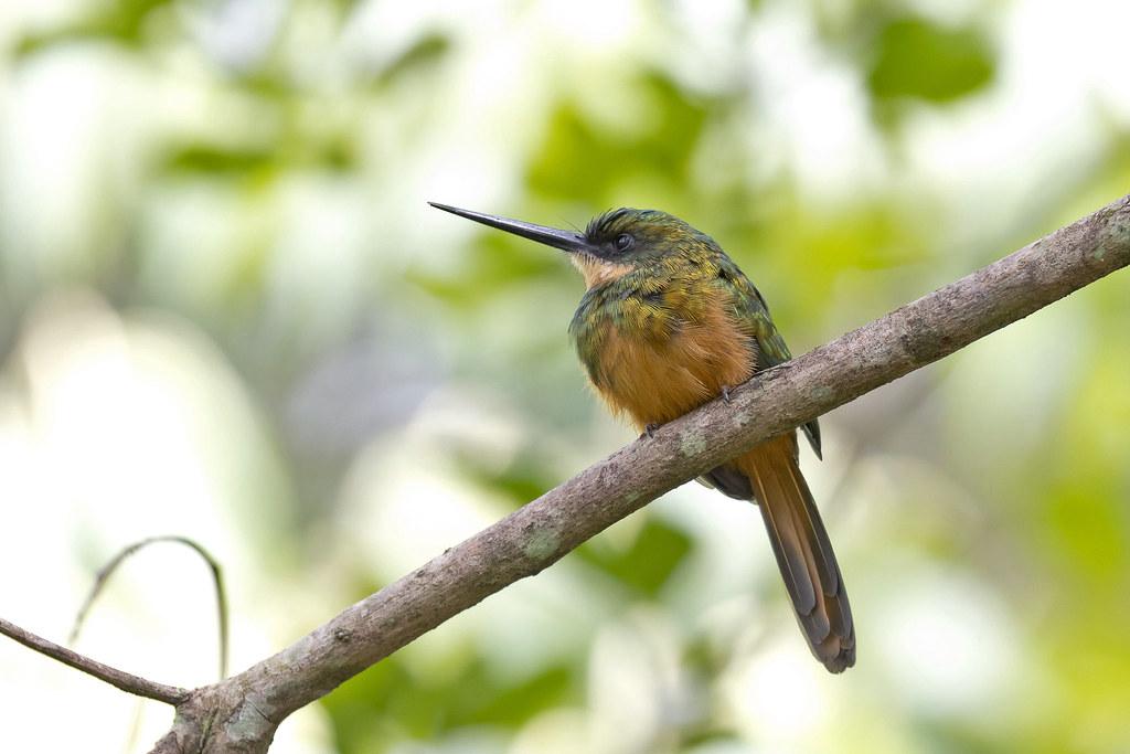 Rufous-tailed Jacamar (Galbula ruficauda) - female
