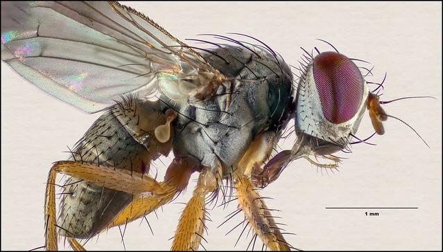 Family Muscidae (House Flies and kin) / Genus Coenosia (Tiger Flies) Maybe