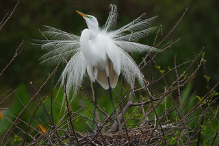 Great Egret Display Ritual | by pbcbob2