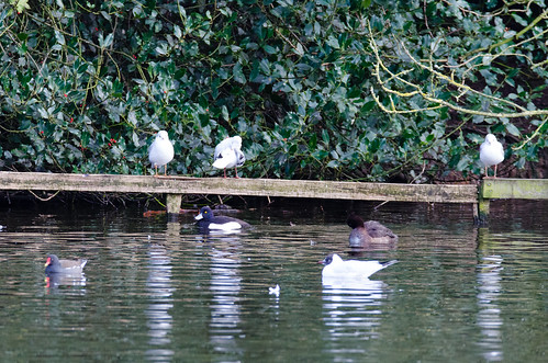 Keeping coy, ferruginous duck, West Park