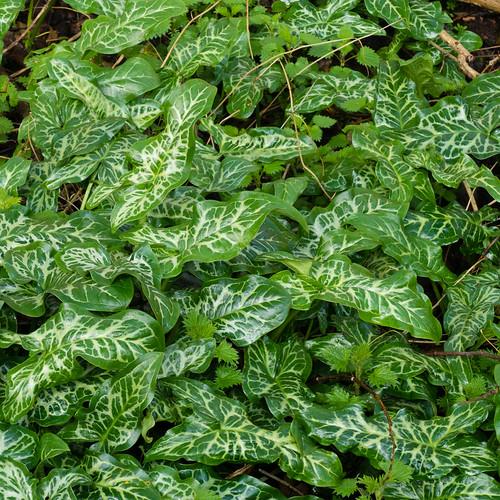 Varigated wild arum leaves