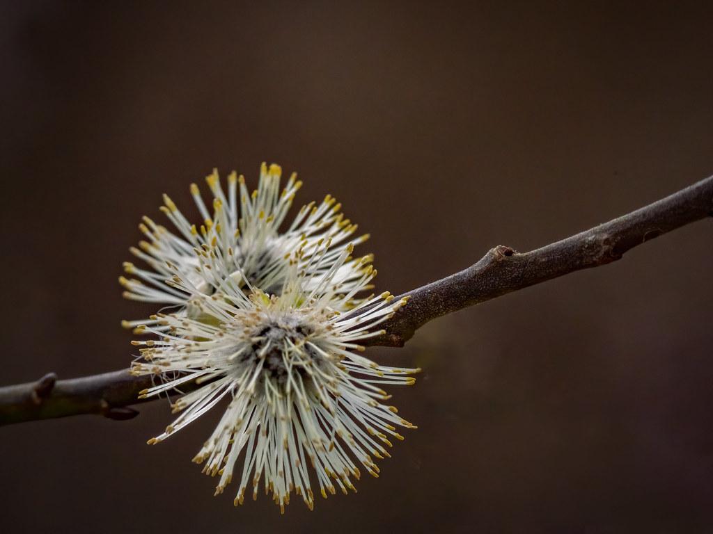 Les pompons du printemps... 49638332362_29da9fb15f_b