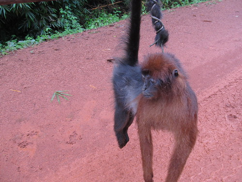 Last Kisangani red colobus?