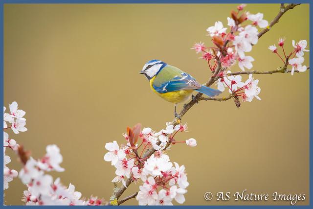 Bluetit in the Blossom