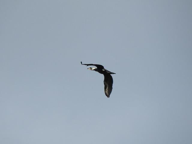 Cormorant DSCN6155