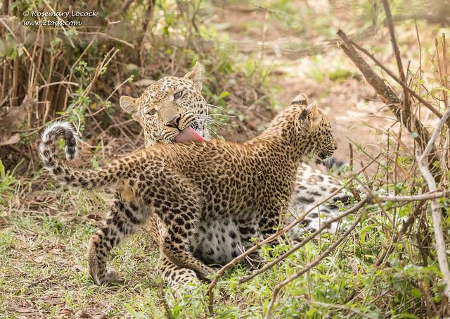 Female Leopard - Panthera pardus