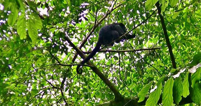 MEXICO, unterwegs im Dschungel bei Palenque, Brüllaffe, 19596/12461