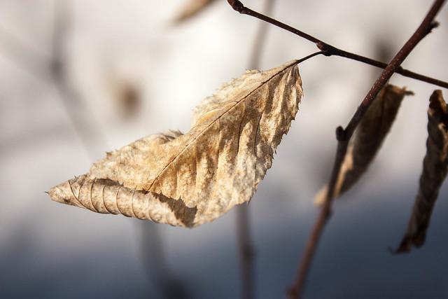 Ironwood leaf