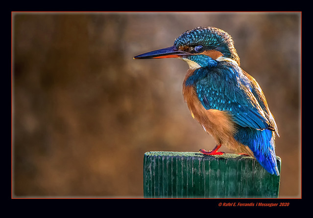 Femella de blauet 48 (Alcedo Atthis) Female Kingfisher (El Palmar, València, l'Horta, Spain)