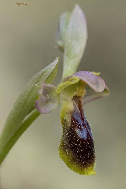 Ophrys x sancti-leonardii