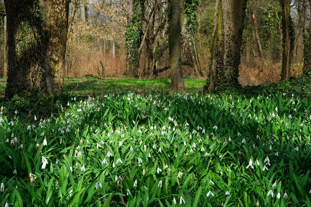 Colorful spring: snowdrops in Alcsút Arborétum Nature Reserve, Hungary