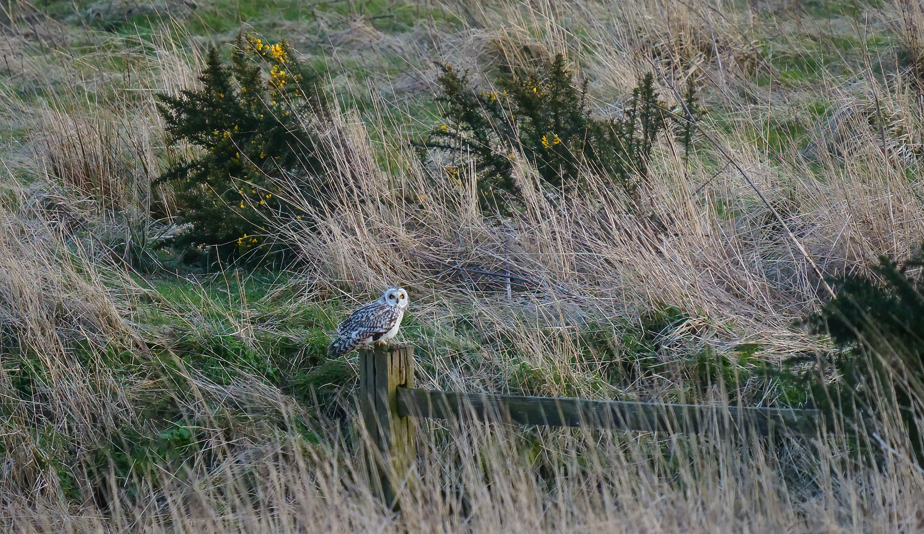 Short-eared Owl [distant]