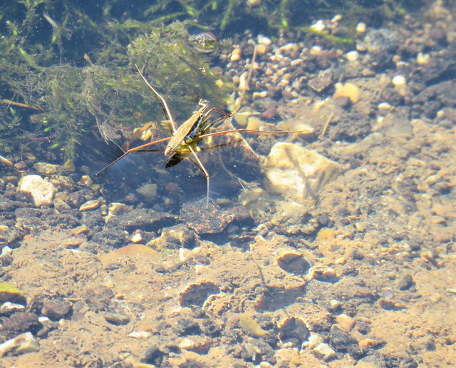 water strider and shadow