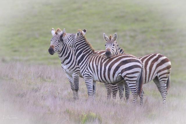 Zebra Kiss