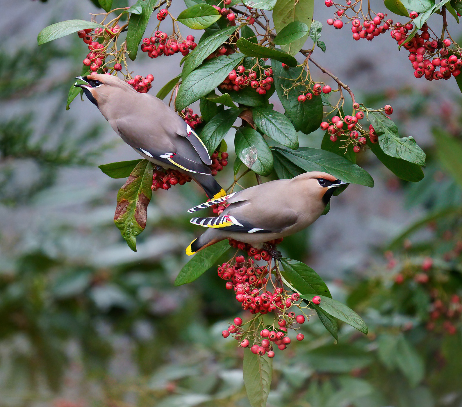 Waxwing/s
