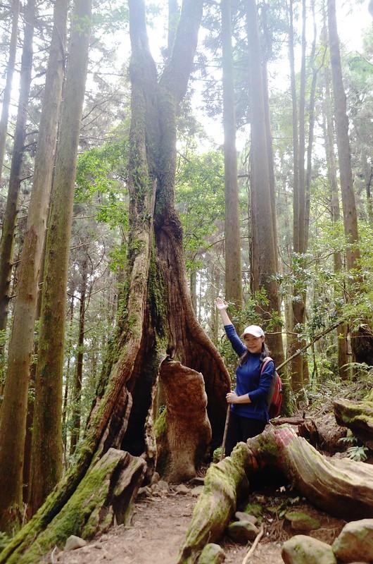 牛樟巨木 (1)