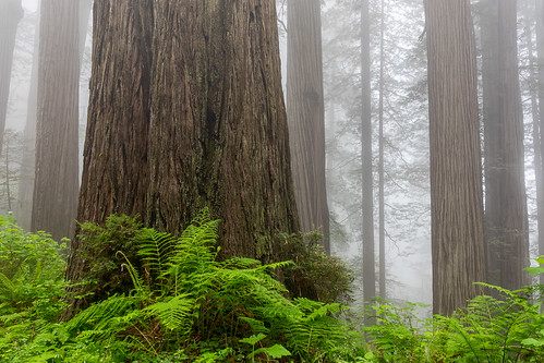 california damnationcreektrail delnortecoastredwoods delnortecoastredwoodsstatepark delnortecounty sequoiasempervirens usa unitedstates coastredwood coastalredwood forest landscape redwood spring tree fog
