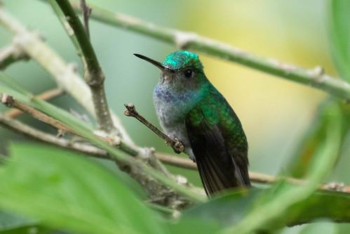 birds panama chiriqui paraisobirdingparadise charminghummingbird amaziliadecora trochilidae boquerón chiriquíprovince